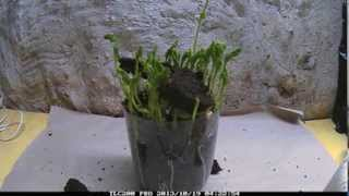 Pea Germination Time Lapse root and leaf growth 10 days in 90 seconds