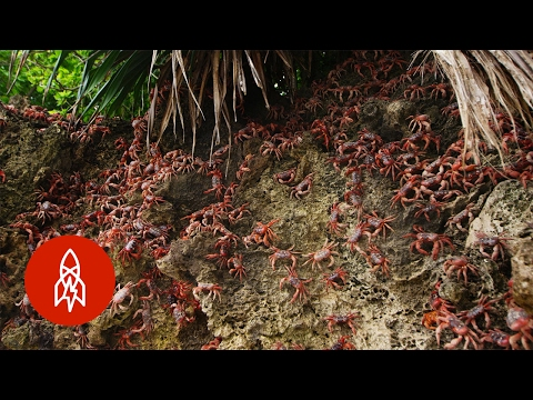 The Invasion of Christmas Island by Millions of Crabs