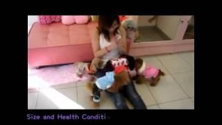 Various Color Adult Teacup Teddy Bears Poodles 3-1