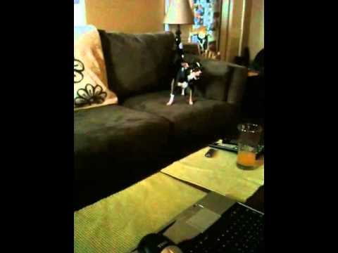 CHIHUAHUA FIGHT AND CHASE