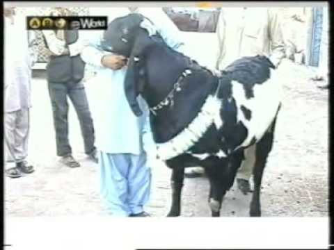 275kg Goat of Bakra Eid