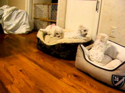 2012 2 10  bolognese puppies in puppy bed playing 001.AVI