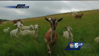 Keene hires goats to trim grass at landfillSubscribe to WPTZ on YouTube now for more: http://bit.ly/1e9vG0jGet more Burlington/Plattsburgh news: http://wptz.comLike us: http://facebook.com/5WPTZFollow us: http://twitter.com/WPTZGoogle+: https://plus.google.com/+WPTZ