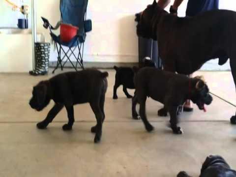 Brave Black Cane Corso Puppy