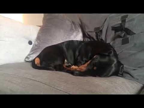 Koiranpennulla taitaa olla hauskat unet