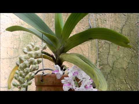 PROJETO ORQUÍDEA FLORIDA (Rhynchostylis gigantea)