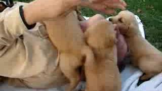 Incredibly Cute: Man Swarmed By Golden Retriever Puppies!