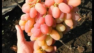 Виноград Юлиан (Grapes Yulian) 2015