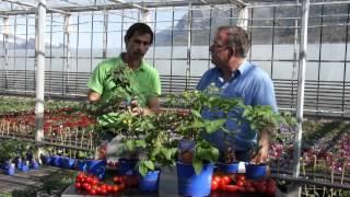 #608 Tipps zu Gemüse und Tomaten für Terrasse und Balkon