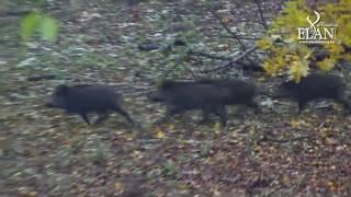 Video Driven Wild Boar Hunt in Hungary MP3, 3GP, MP4, WEBM, AVI, FLV Oktober 2017