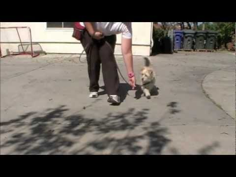 Loose Leash Walking: Clicker Dog Training – ShapeFest 2012