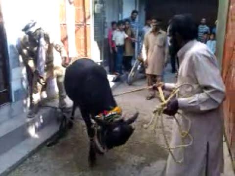 bakra eid qurbani 2011 - 2 No Qusaii On BAkra Eid Fight With Wera...........!