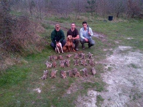 chasse - Chasse du lapin de garenne au Parc de la Garenne à Cerdon (Loiret).