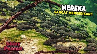 Video Invasi Ikan Sapu-Sapu Ternyata Sangat Berbahaya Buat Lingkungan MP3, 3GP, MP4, WEBM, AVI, FLV Maret 2019