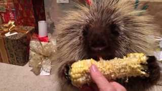 Teddy Bear, the talking porcupine, finds his favorite treat among the Christmas presents. Listen carefully and hear him say