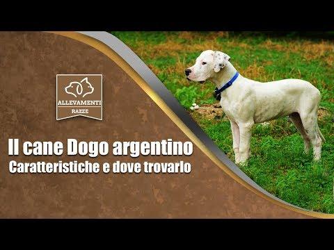 Il cane Dogo argentino - Caratteristiche e dove trovarlo - Documentario di Allevamenti Razze