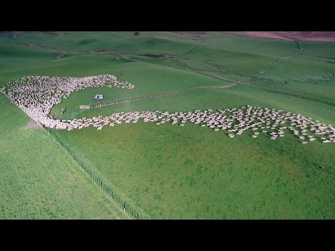Drone's Eye View of Sheep Herding