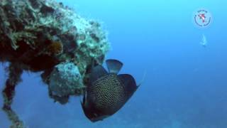 French Angelfish at St. George