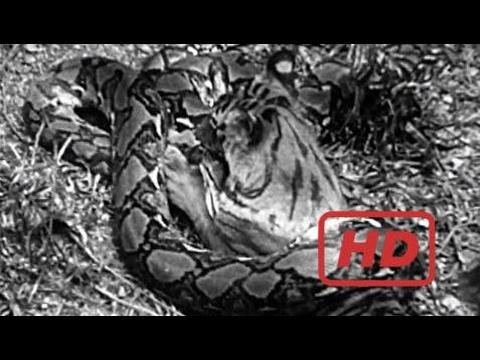 Harimau vs Ular Piton (Python)   Pertarungan Binatang Buas   Video Perkelahian Hewan Liar