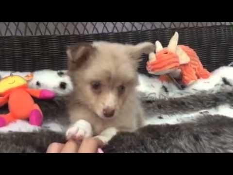 Remarkable, True Toy Aussie puppy!
