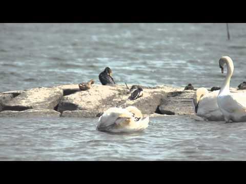 Sony A55 Test Video - swan