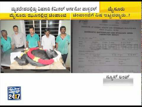 Mysore zoo gorilla dead because of poison   Polo  India s only gorilla dies 02 September 2015 09 36 PM