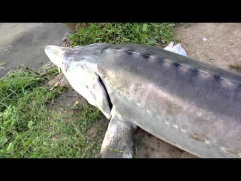 рыбалка ловля белуги видео