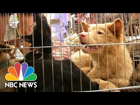 Chinese City Preparing For Annual Dog Meat Festival | NBC News