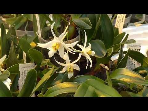 Orchideen Arten: Dendrobium acutilingue