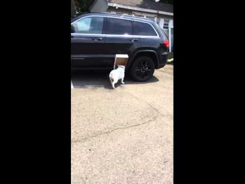 Il Bulldog Inglese Diesel adora le scatole