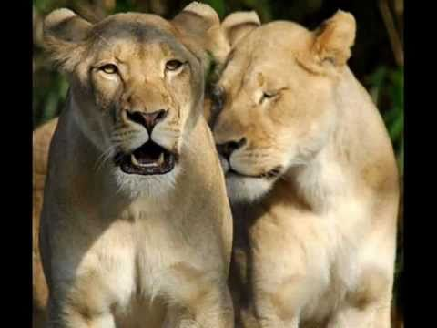 ulihedi - Slideshow of African lions, lionesses and lion cubs, audio The Empress Of African Song, Mama Africa, Miriam Makeba singing *Mbube* (The Lion Cries) 1960.