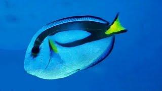 NOMBRE CIENTÍFICO: Paracanthurus hepatus ○ FAMILIA: Acantúridos ○ NOMBRE COMÚN: Pez cirujano paleta, pez cirujano...
