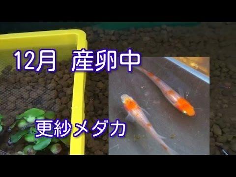 12月 更紗めだか産卵しています 加温中 紅白メダカ Japanese Rice Fish (Organism Classification)