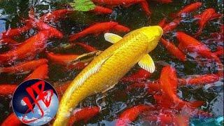 [Huyền Bí TV] - Tương truyền, tại vùng đất Thần Châu có một dòng sông linh thiêng được gọi là Hoàng Hà. Vùng trung du Hoàng...