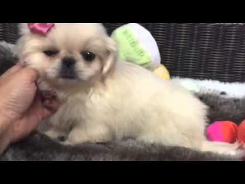 White as snow, Pekingese baby girl
