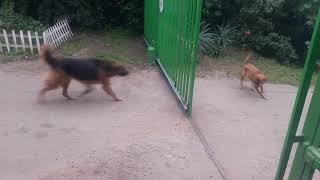 """Bardzo """"odważne"""" psy"""