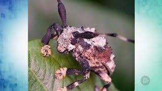 Pesquisadores da Unesp de Botucatu estudam única espécie de besouro venenoso do mundo