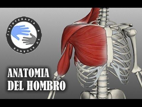 Anatomia y musculos del hombro (видео)