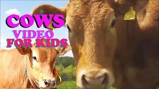 Video Cow Mooing - Cow Videos for Children - More Cows for Kids - Sapi Limosin - Belajar Suara Hewan Sapi MP3, 3GP, MP4, WEBM, AVI, FLV November 2018
