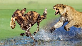 Mistake when Wild Dogs attack baby Lion - Tiger vs Buffalo - Lion vs Cheetah