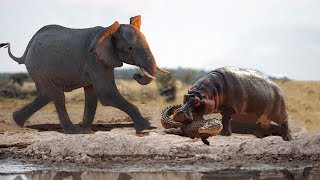 Brave Elephant Save Crocodile From Hippo | Animals Save Other Animals