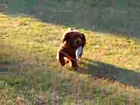 Sussex Spaniel Hunting