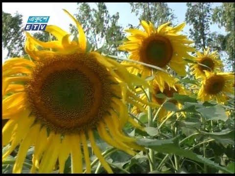 কুড়িগ্রামে প্রথমবারের মতো সূর্যমুখী ফুল চাষ   | ETV News