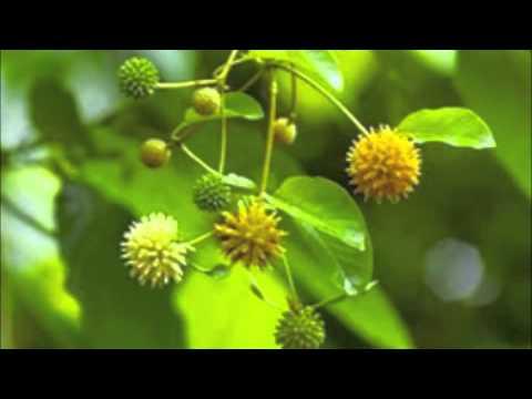 Kratom song- Green Leafy Powder