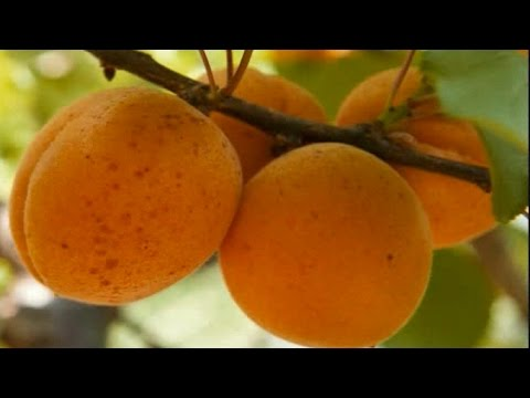 Apricot - http://www.tytyga.com/category/Apricot+Trees Apricot trees bear a very sweet delicious fruit that is similar but smaller in size than a peach. Apricots are d...