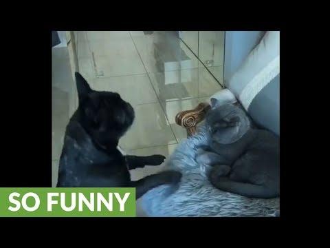 la-bulldog-francese-che-implora-il-gatto-di-giocare-con-lei