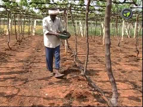 Fertilizer Application  for Grape Vines