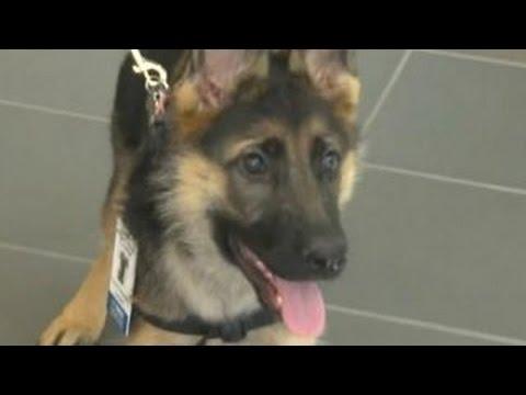 la nuova frontiera: cani addestrati a fiutare il cancro!
