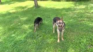 Gus and Scarlett German Shepherds Off Leash Come