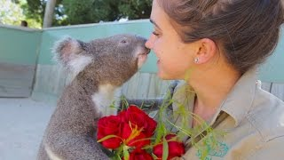 Adorable Koalas celebrate Valentine's Day